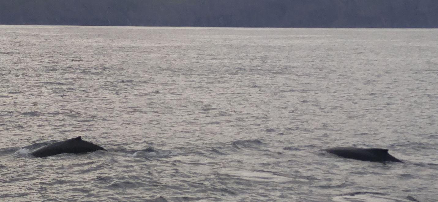 Zwei Buckelwale aus nächster Nähe